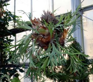 Staghorn fern house plants platycerium bifurcatum