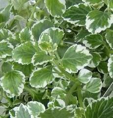 swedish ivy, swedish ivy plant