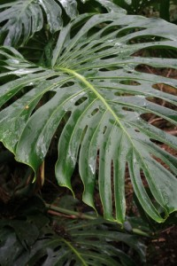 swiss cheese plant picture, monstera deliciosa, split-leaf philodendron