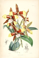 tiger orchids