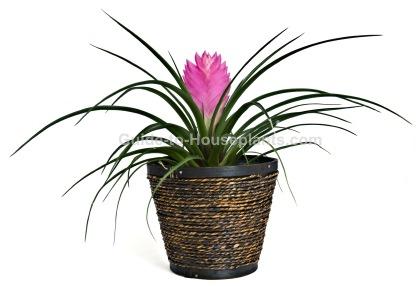 pink quill plant, tillandsia cyanea, bromeliad care, houseplants