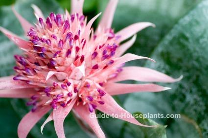 urn plant, aechmea fasciata