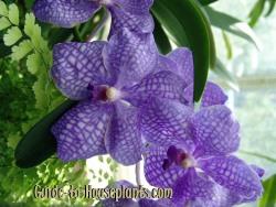 vanda orchid, orchid vanda