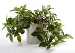 wandering jew, tradescantia albiflora