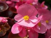 begonia care