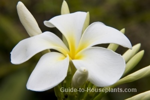 plumeria care, plumeria pictures, frangipani flowers, frangipani tree
