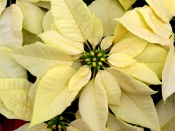 white poinsettia, poinsettia plant