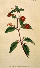 achimenes flowers