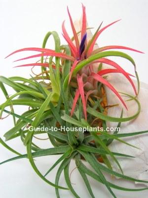 air plant, bromeliad, tillandsia cyanea