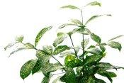 japanese laurel, aucuba japonica, spotted laurel