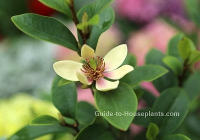 banana shrub, michelia figo, banana magnolia, banana figo