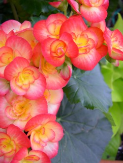 begonia care, caring for begonia