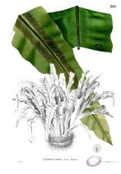 bird nest fern, bird nest fern care, asplenium nidus
