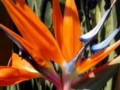 bird of paradise plant, bird of paradise flower