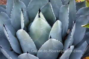 blue agave plants, blue agave plant