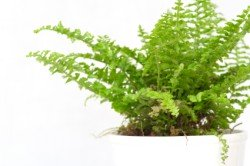 boston fern, house plants