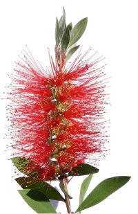 bottle brush flower, bottle brush plant, crimson bottlebrush