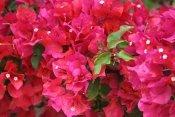 bougainvillea flowers, bougainvillea plants