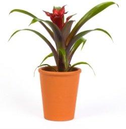 scarlet star, bromeliad care, guzmania lingulata