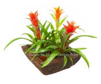 scarlet star, bromeliad plant care, guzmania lingulata