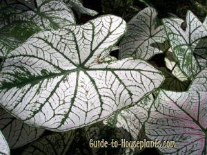 caladium, caladiums, fancy-leaf caladium