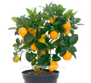 calamondin, calamondin orange, calamondin orange tree