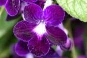 cape primrose, growing primrose, streptocarpus