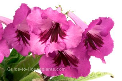 cape primrose, streptocarpus