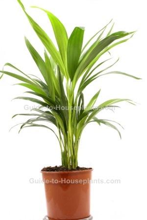 cast iron plant, aspidistra elatior