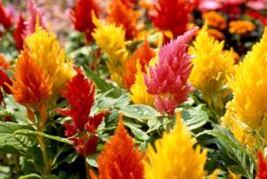 celosia flowers, celosia plumosa