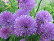 chive flowers, chive plants