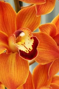 types of tropical flowers, tropical flowers, cymbidium orchid