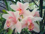 pink cymbidium orchid, cymbidium care, care of cymbidium orchids
