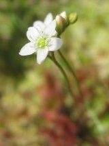 sundew plant, sundew plant flower, drosera rotundifolia