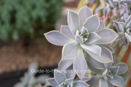 echeveria, succulent house plants