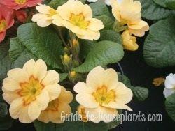 primrose flowers, primrose plant, english primrose