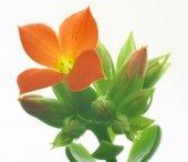flaming katy, kalanchoe blossfeldiana, kalanchoe plant