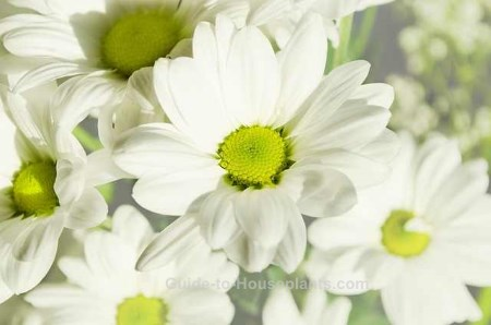 florist chrysanthemum, florist mums, white mum