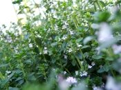 thyme herb, thyme plant