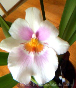 miltoniopsis orchids, fragrant orchid