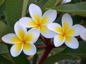 frangipani flowers, fragrant plumeria
