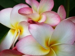 types of tropical flowers, hawaiian flowers, frangipani flowers