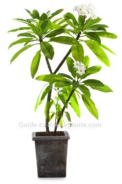 plumeria care, frangipani tree, growing plumeria, how to grow plumeria