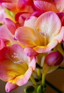 freesia flower, growing freesia, freesia plant care