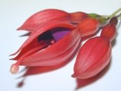 fuchsia flowers, growing fuchsia plants, fuchsia hybrid