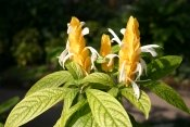 golden shrimp plant, pachystachys lutea