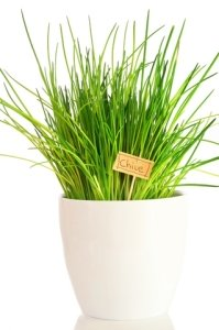 growing chives, chives plant