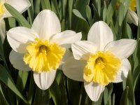 growing daffodils, how to plant daffodils, planting daffodil bulbs, forcing daffodils