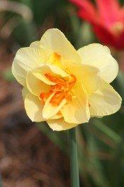 growing daffodils, forcing daffodils, daffodil care