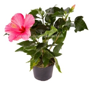 growing hibiscus, hibiscus plant